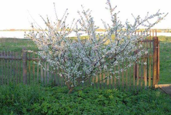 Цветение сливы сорта Уральские зори в пятилетнем возрасте