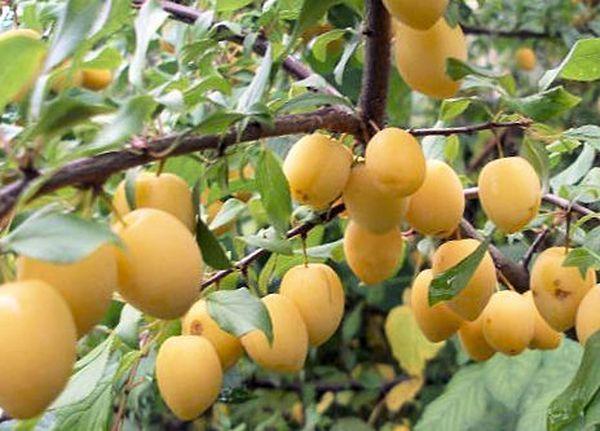 Желтая окраска спелых слив отечественного сорта Утро ред съемом с дерева