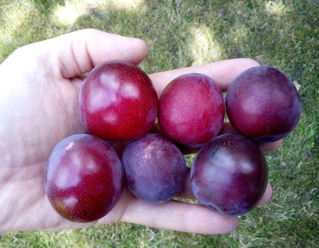 Шесть спелых слив темно-бардовой окраски в руке садовода-любителя