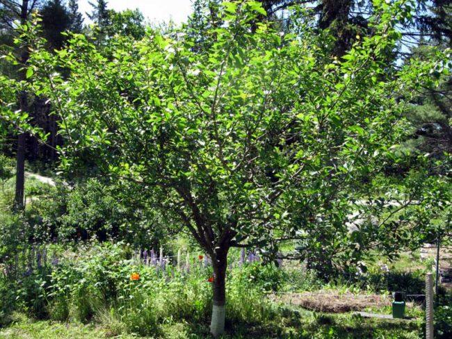 Невысокое деревце сливы в глубине дачного участка в начале лета