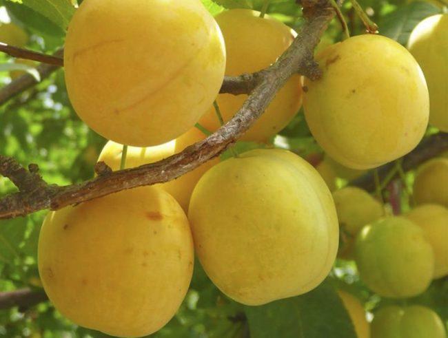 Внешний вид плодов сливы сорта Желтая самоплодная в стадии технической спелости