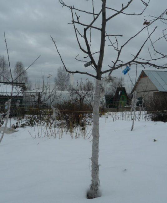 Обмотанный стеклотканью ствол сливового деревца в зимний период
