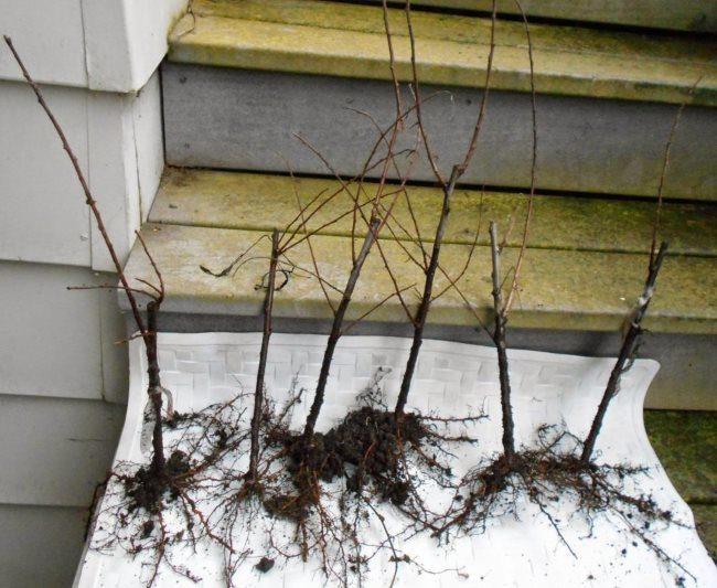 Однолетние саженцы сливы с открытыми корнями для посадки на дачном участке