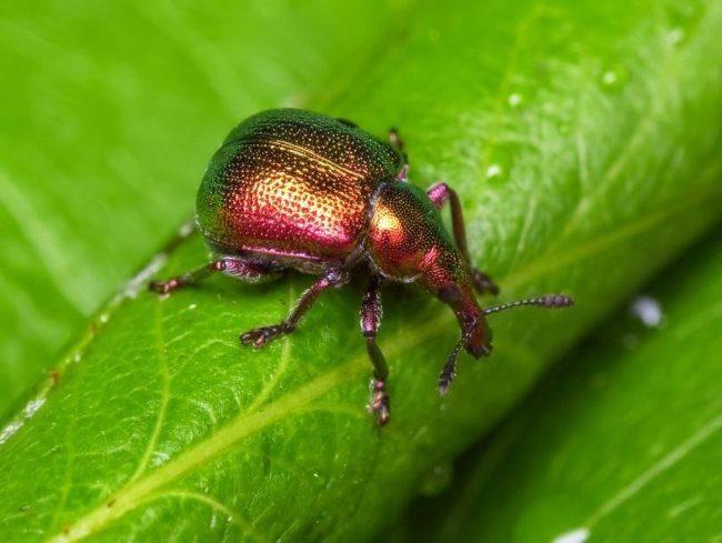 Взрослый жук трубковерт медно-бронзового окраса на зеленом листе сливы