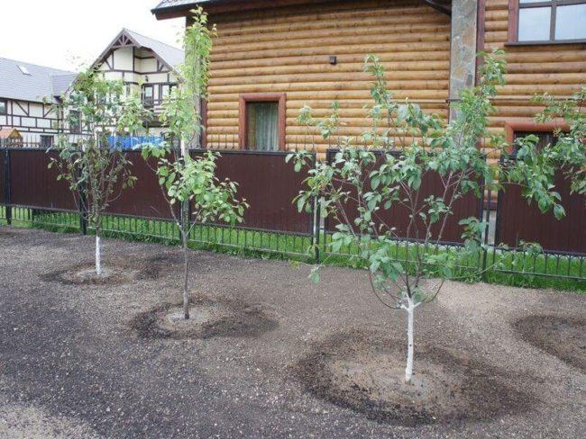 Молодые плодовые деревья на территории загородного участка