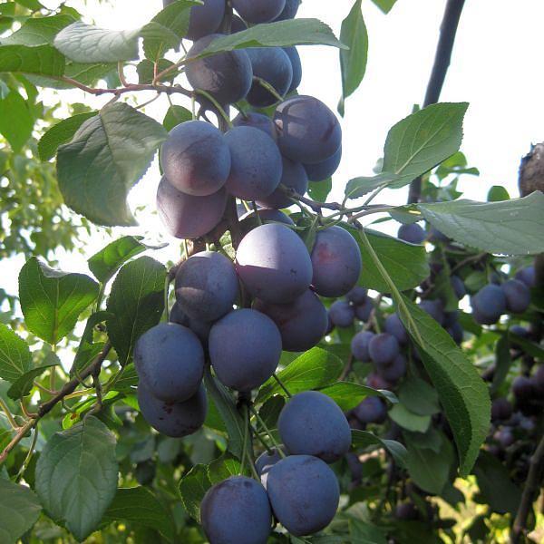 Созревание плодов на ветках сливы сорта Гармония в саду Ярославской области