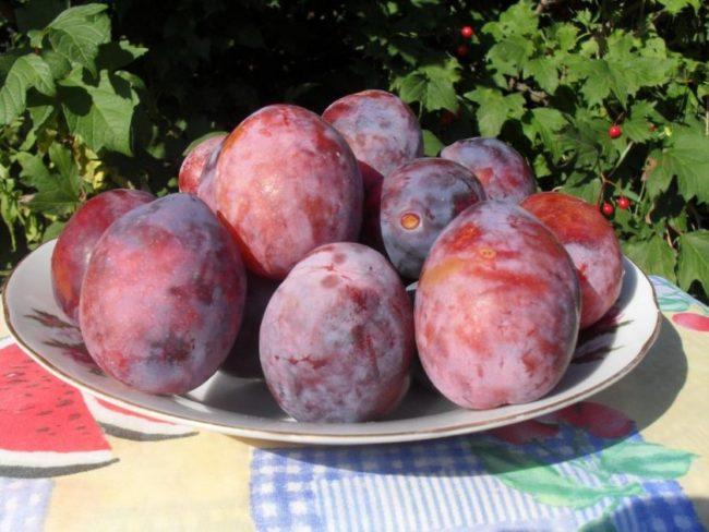 Фарфоровая тарелка со спелыми сливами сорта Киргизская превосходная