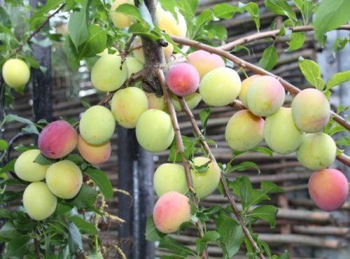 Начало созревания плодов на дереве сливы сорта Кубанская комета
