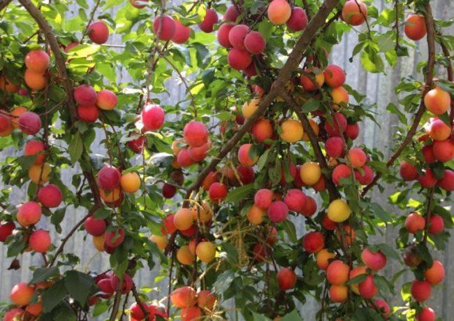 Созревание плодов на повислых ветках русской сливы в начале августа