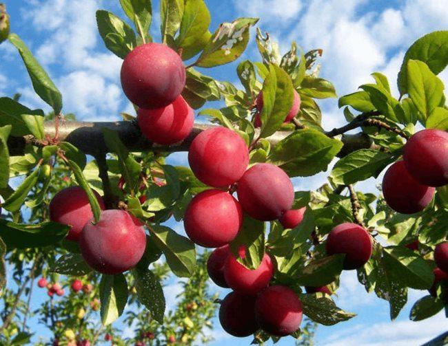 Ветка сливового дерева с красными плодами шаровидной формы