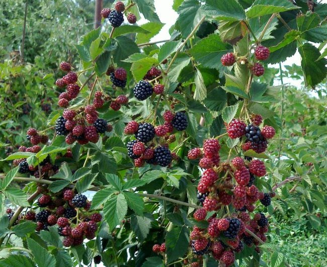 Поспевающие ягоды земляники на длинных ветках в саду Центрального Черноземья