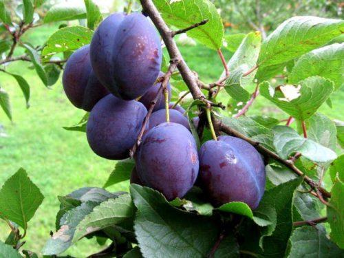 Ветка сливы сорта Ника с плодами овальной формы темно-фиолетового цвета