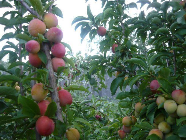 Прямостоячие ветки сливы с плодами красно-оранжевого окраса