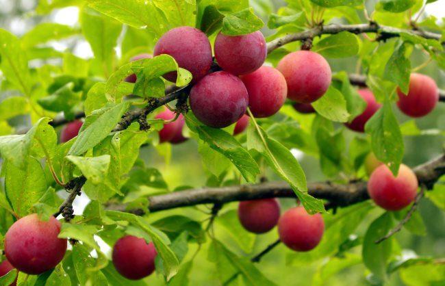 Красные сливы круглой формы на горизонтальных ветках старого дерева