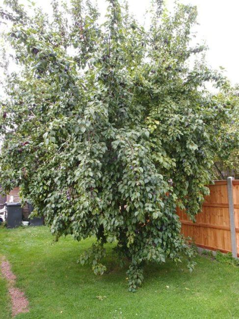 Высокое дерево сливы около деревянного забора загородного участка