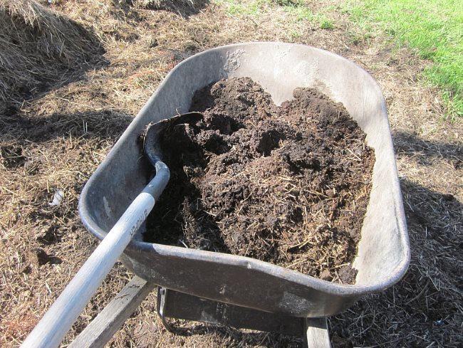 Садовая тачка с перегноем для подкормки сливы перед плодоношением