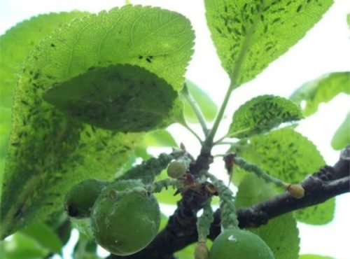 Листья и зеленые плоды сливы с мелкой тлей в середине лета