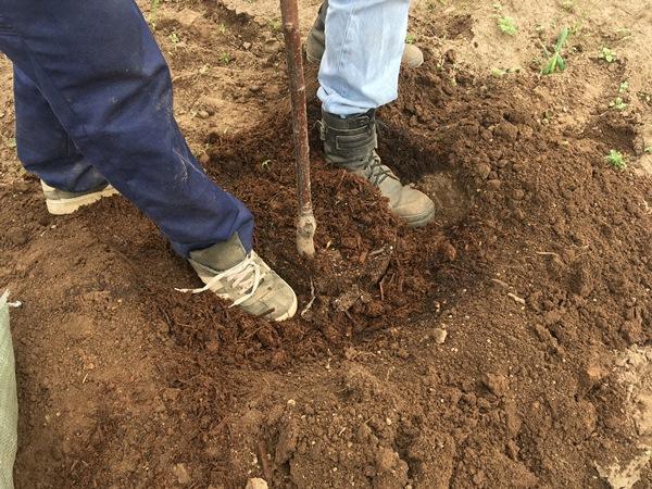 Трамбование грунта ногами в посадочной яме с саженцем сливы