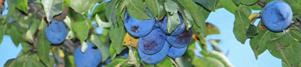 Созревающие плоды сливы сорта Тульская чёрная на ветке дерева
