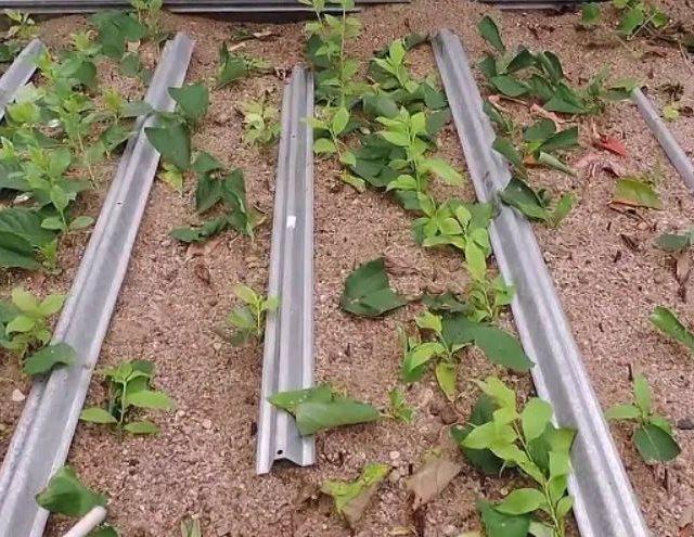 Выращивание своими руками сливы из зеленых черенков на дачном участке