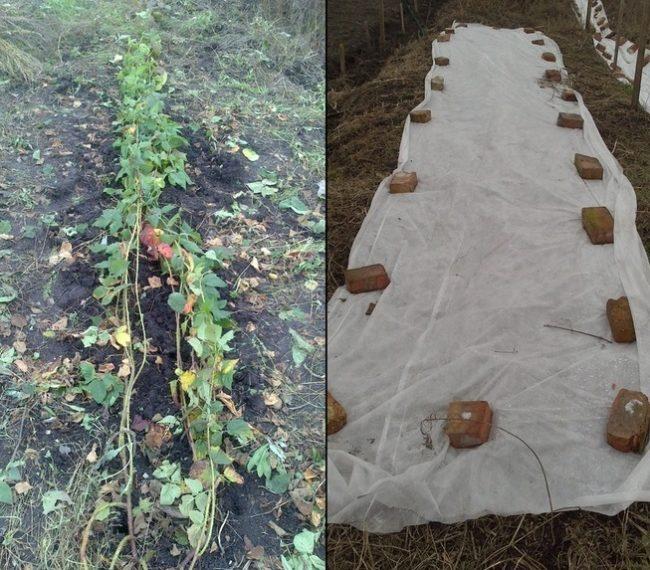 Осенне укрытие веток ежевики под белый нетканый материал