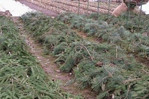 Еловые ветки на пригнутых к земле ветках гибридной ежевики