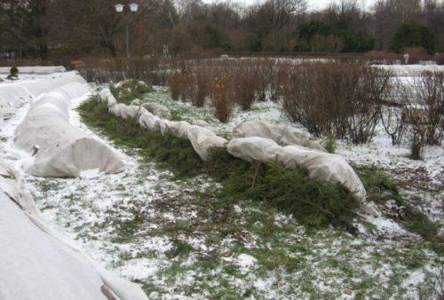 Укрытие веток лапником перед зимовкой в Средней полосе