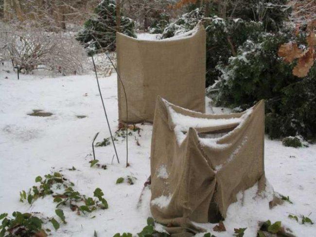 Воздухопроницаемое укрытие на зиму для молодой сливы из обычной мешковины