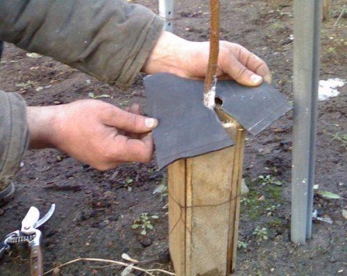 Защита штамба сливового саженца от выпревания с помощью деревянного каркаса