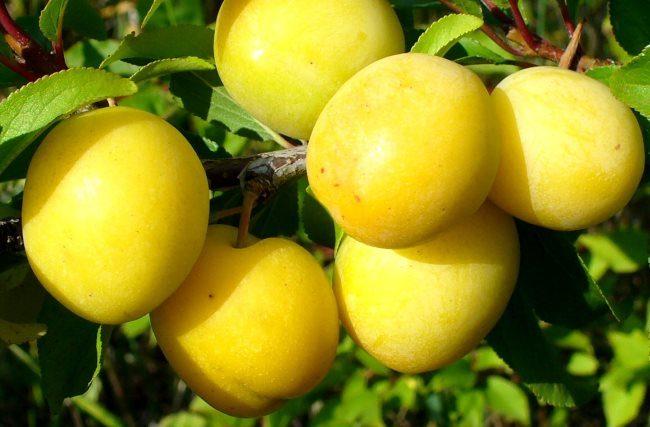 Овальные плоды сливы сорта Уральская золотистая с гладкой кожицей