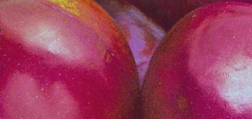Спелые плоды сорванные с дерева сорта сливы Уральские зори вблизи