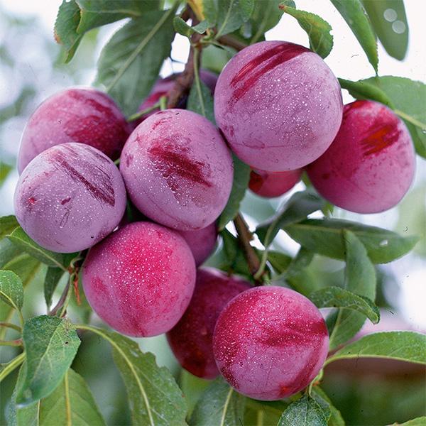 Бардовый цвет плодов сливы гибридного сорта Уральские зори