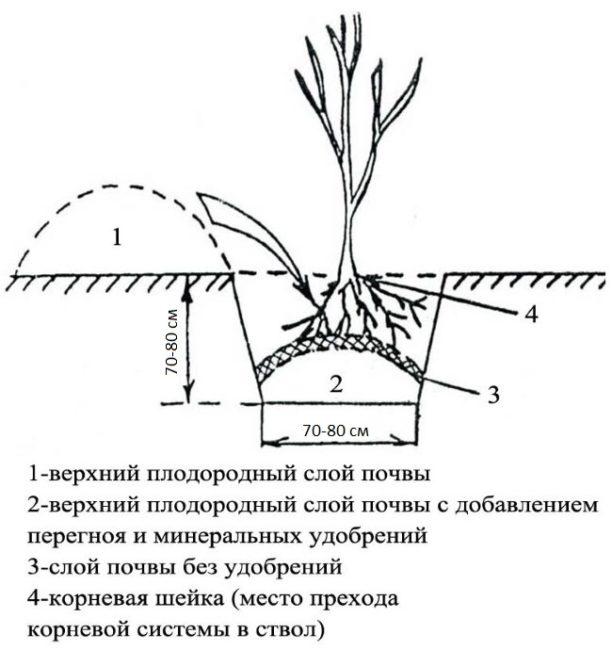 Устройство посадочной ямы для саженца сливы с добавлением перегноя и удобрений