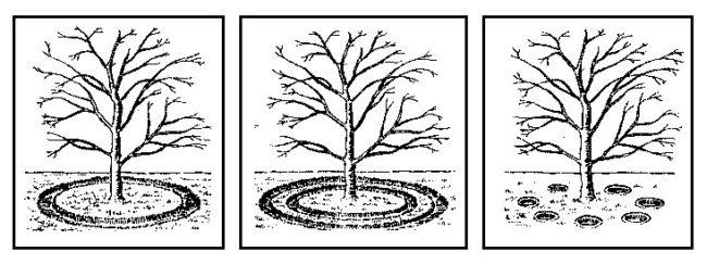 Три схемы внесения минеральных удобрений в почву вокруг сливы