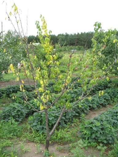 Засыхание и пожелтение листьев на дереве сливы среднего роста