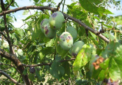 Признаки заражения садовой сливы вертициллезом на плодах и листьях