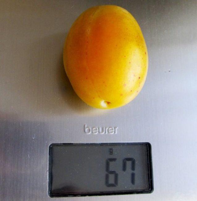 Крупный плод сливы овальной формы сорта Медовая желтая на бытовых весах