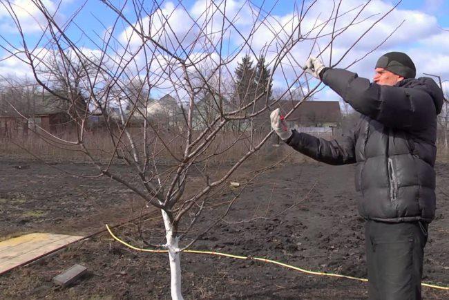 Санитарная обрезка сливового дерева ранней весной опытным садоводом
