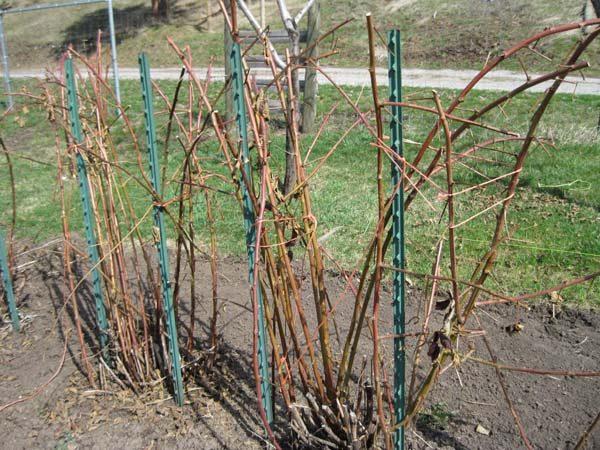 Прошлогодние стебли ежевики на опоре после ранней весенней обрезки