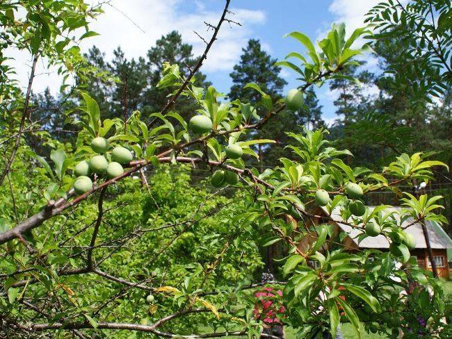 Ветка сливового дерева с зелеными плодами овальной формы