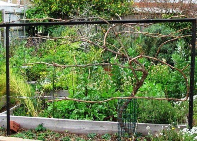 Виноградная лоза на шпалере рядом с огородом и плодовыми культурами