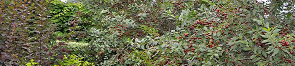 Вишня рядом с другими плодовыми деревьями