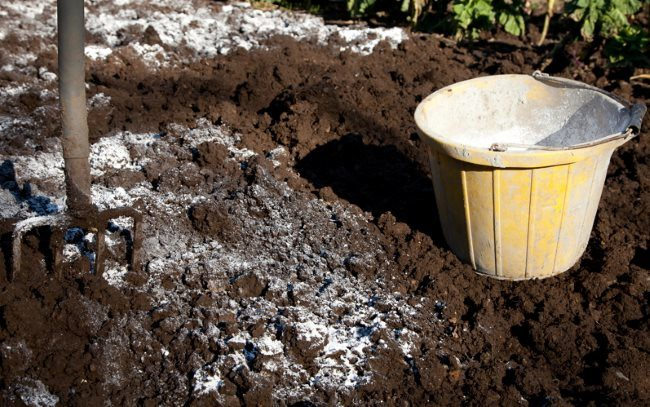 Осеннее внесение доломитовой муки на место будущей посадки сливы
