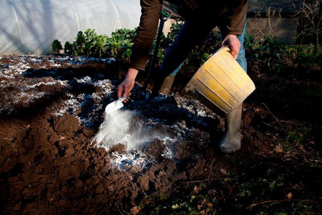 Внесение порошка извести для раскисления почвы на месте посадки сливы