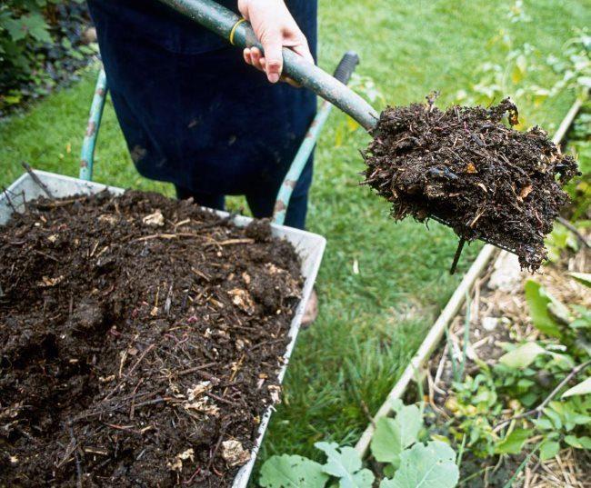Внесение листового перегноя под кусты гибридной ежевики на дачном участке