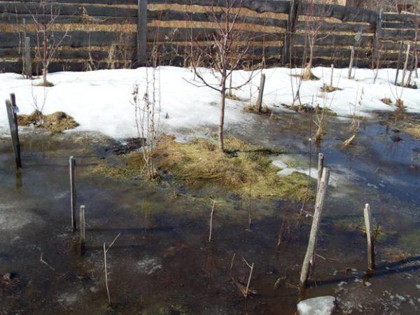 Деревце сливы на холмике в саду в период активного таяния снега