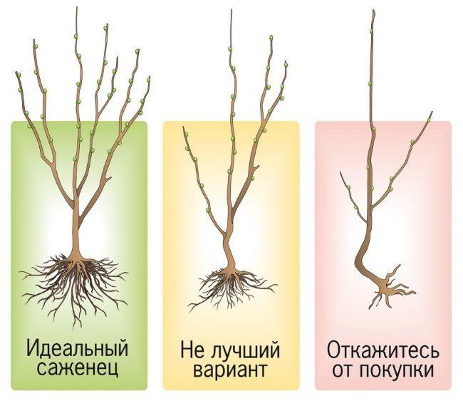 Схема правильного выбора саженца сливы для посадки в частном саду