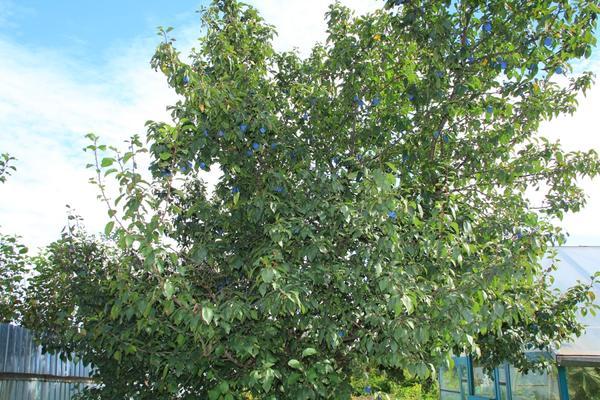 Высокое дерево сливы с густой кроной на заднем плане дачного участка