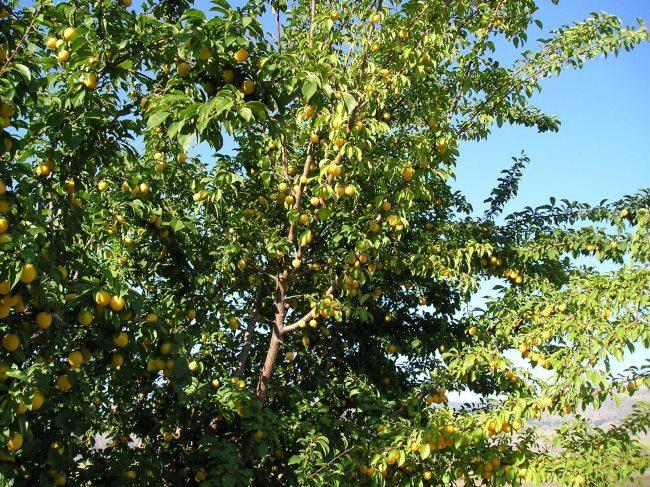 Высокие ветки сливового дерева сорта Медовая с желтыми плодами