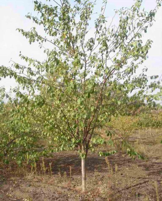 Взрослое дерево сливы с неширокой кроной вытянуто-овальной формы